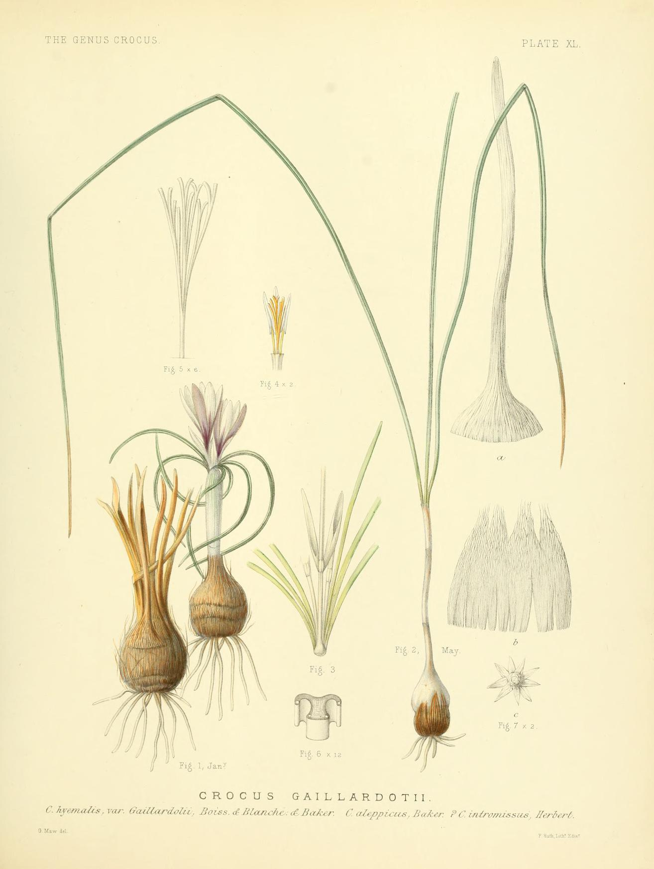 Crocus aleppicus