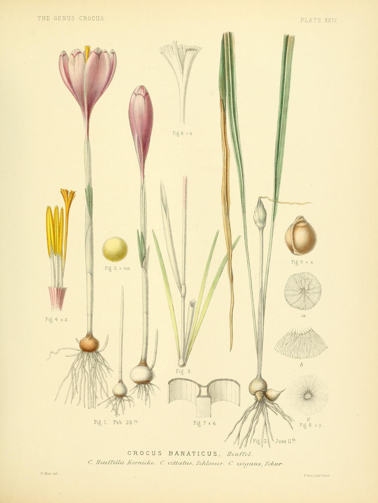 Crocus banaticus