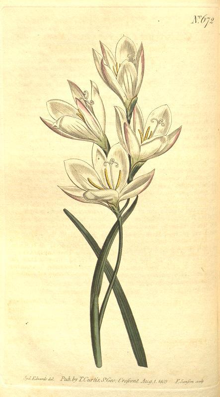 Geissorhiza