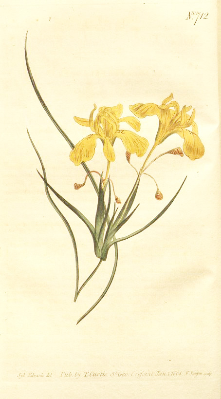 Moraea Longiflora