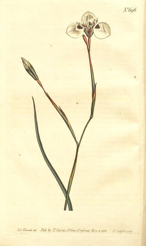 Moraea Tricuspidata