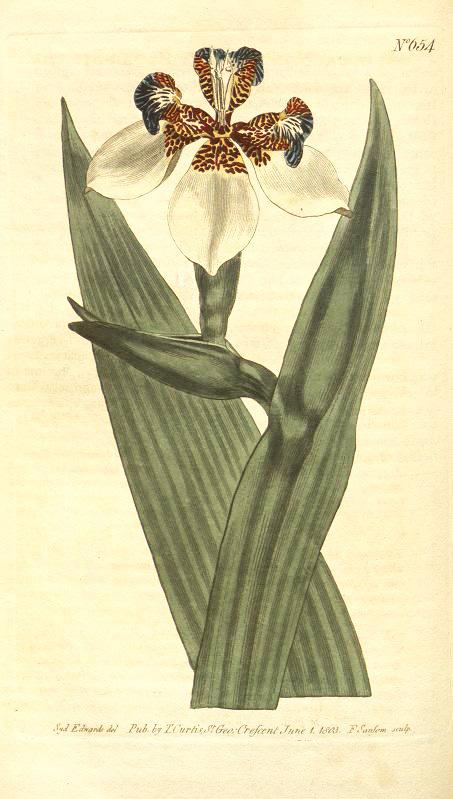 Neomarica northiana