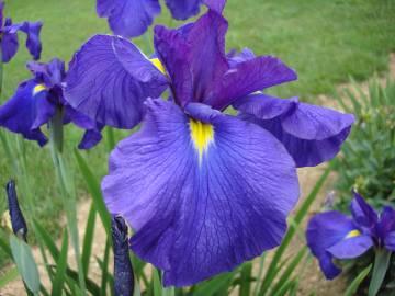 Bellender Blue