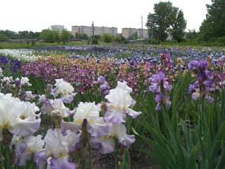 My Valley Of Irises