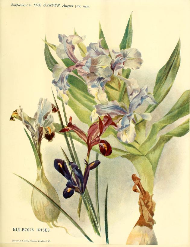 Bulbous Iris