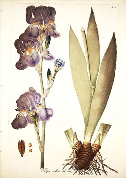 (SPEC) Iris odaratissima