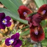 african Whine small Dwarf Iris photo archive 004.jpg