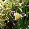 Boink small Dwarf Iris photo archive 005.jpg