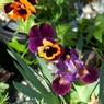 chemistry small Dwarf Iris photo archive 017.jpg