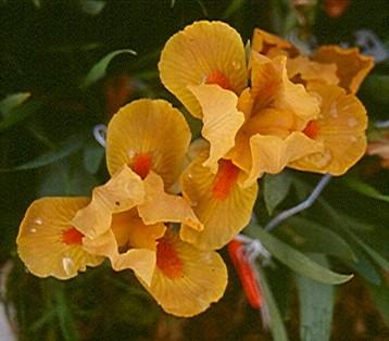 Fire Opal Orange