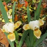 Tooth fairy small Dwarf Iris photo archive 027.jpg