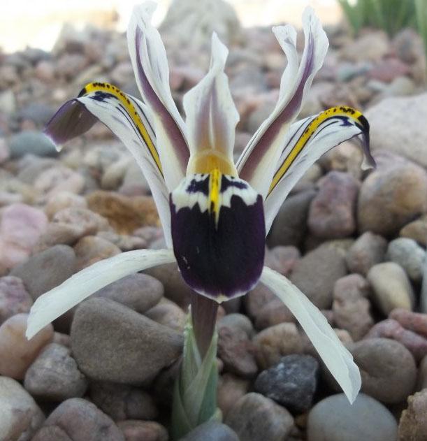 Iris nicolai