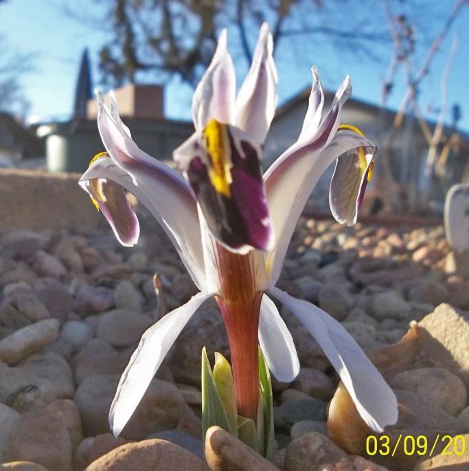 Iris rosenbachianai