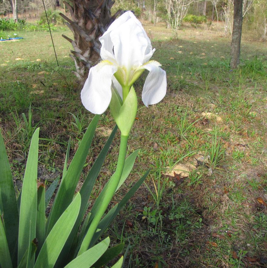 'Iris albicans