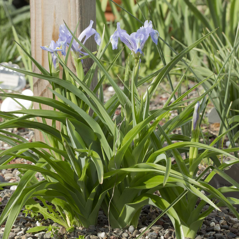 Iris albomarginata