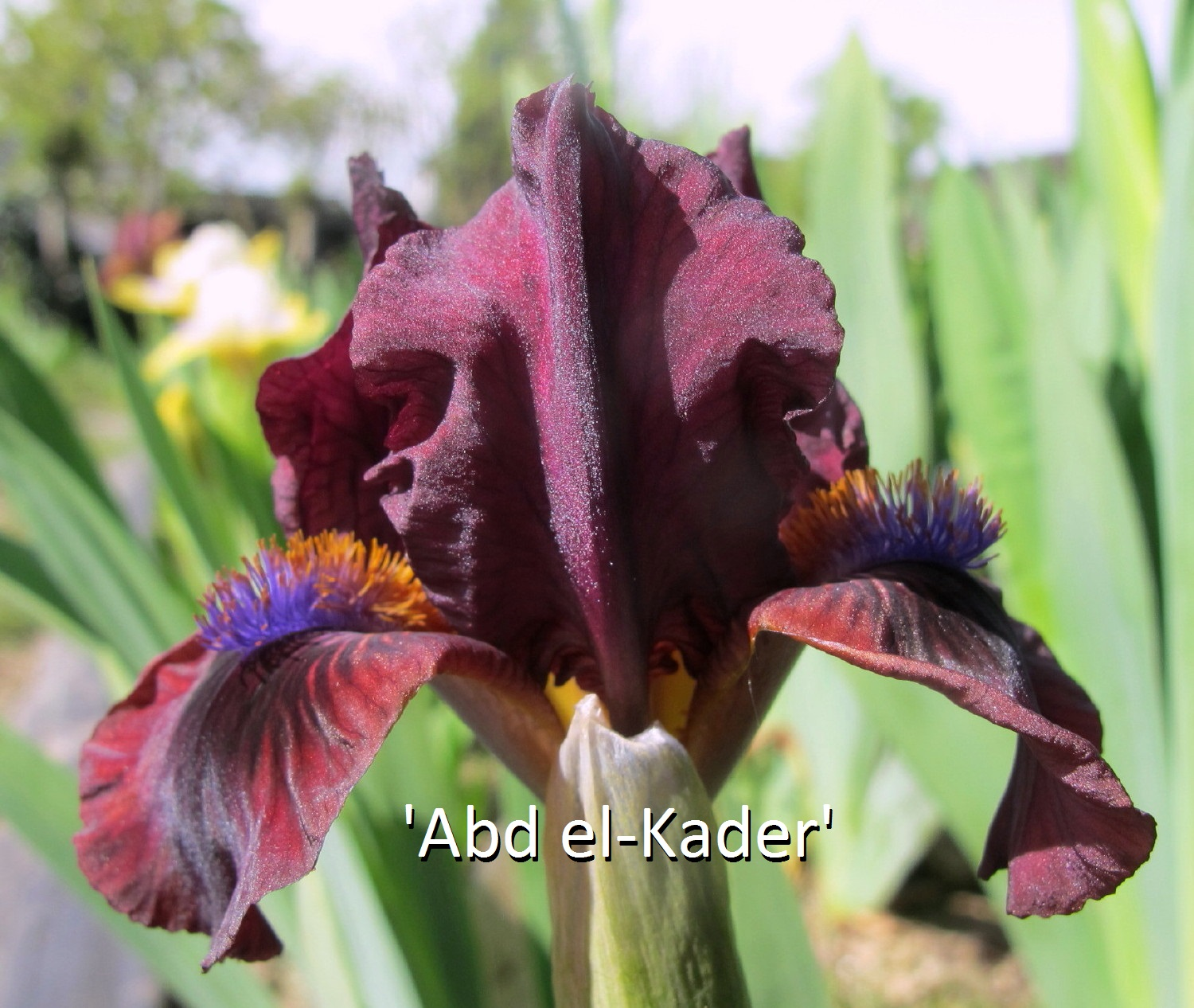 Abd El Kader Loc Tasquier R 2016 Seedling C130A SDB 30 Cm Early Midseason Bloom Standards Plum Burgundy Black Overlay Style Arms