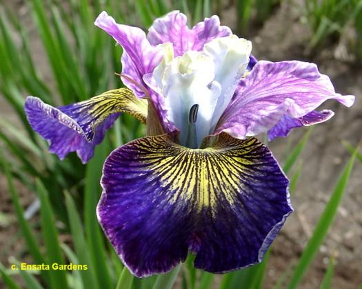 SibCharmingBilly Sib Iris Wiki
