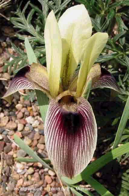 Iris afghanica