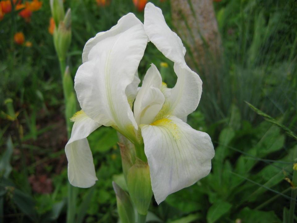 Iris branca