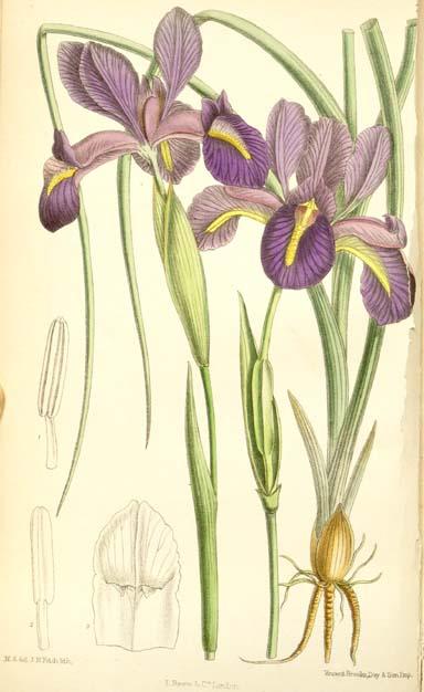 Iris boissieri
