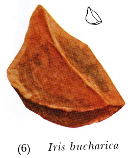 Beardless Seed, with flattened sides