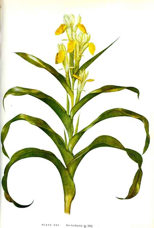 Juno Flower