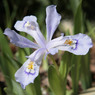 Iris cristata Powder Blue Giant.jpg