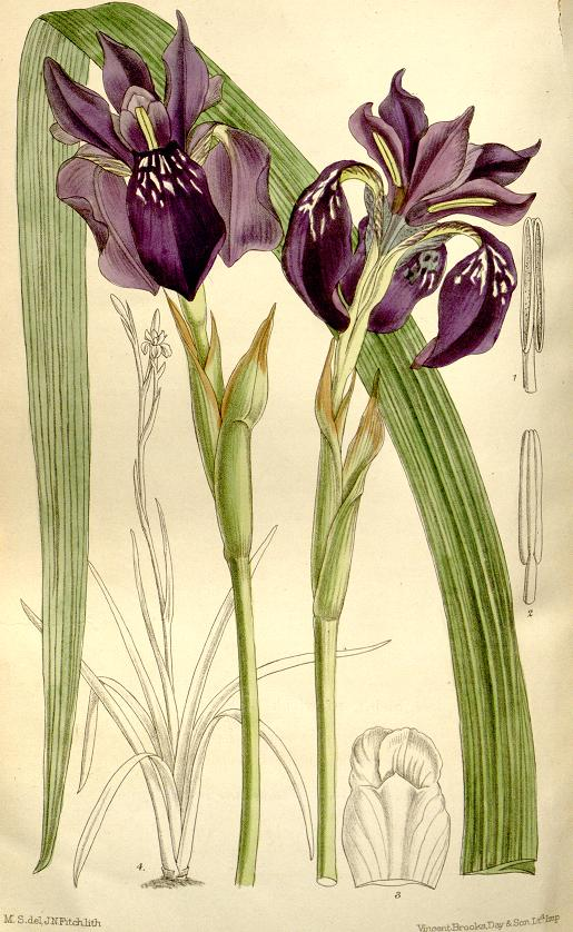 Iris delavayi