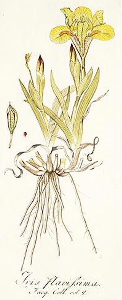 Iris flavissima