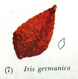 Typical Bearded Iris Seed