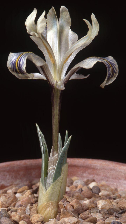 Hymenospatha