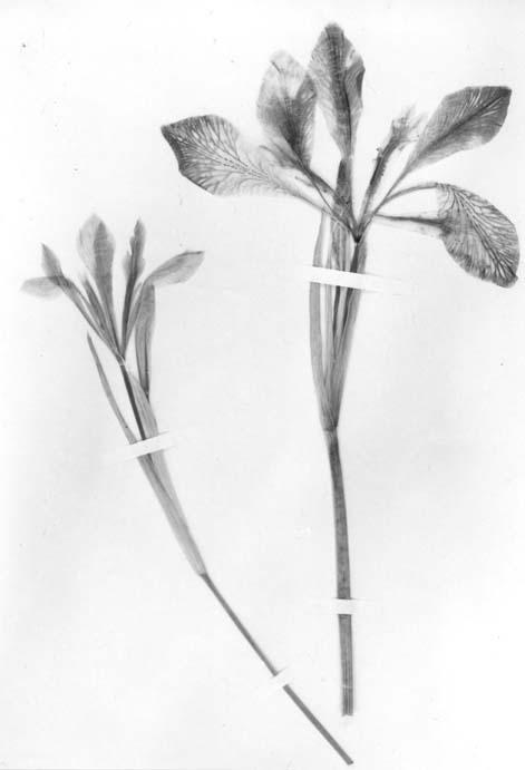 Lactea grandiflora