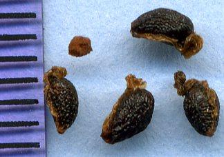 Lacustris