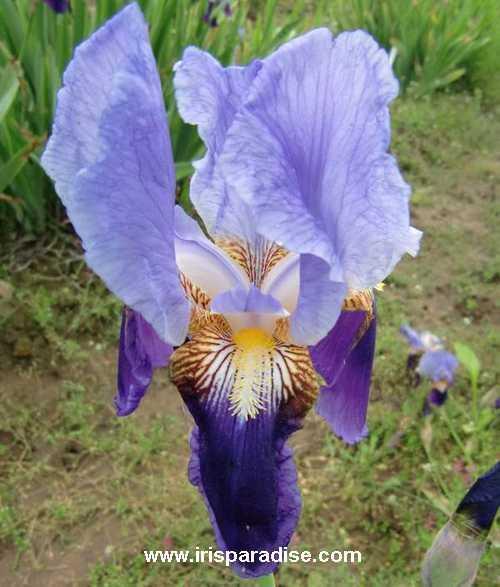 (SPEC) Iris mesopotamica