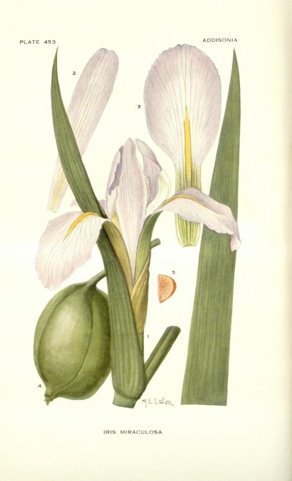 (SPEC) iris miraculosa