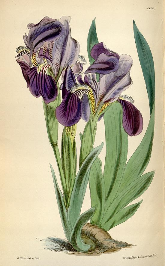 Nudicaulis