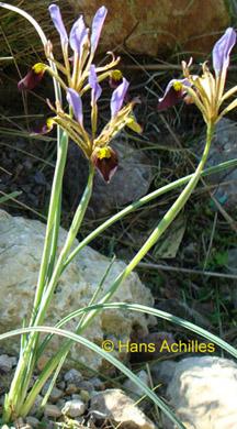 (SPEC)Iris Pamphylica Hedge