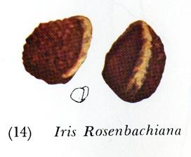 Beardless Iris Seed