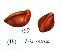 Other Beardless Seeds