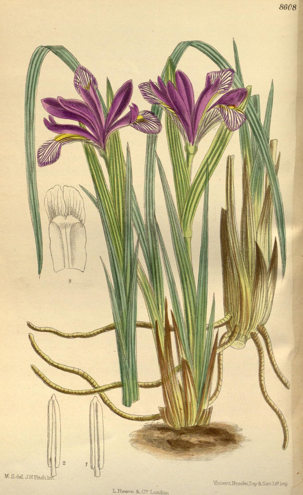 Iris uromovii