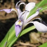 Iris-speculatrix-4Murrain.jpg