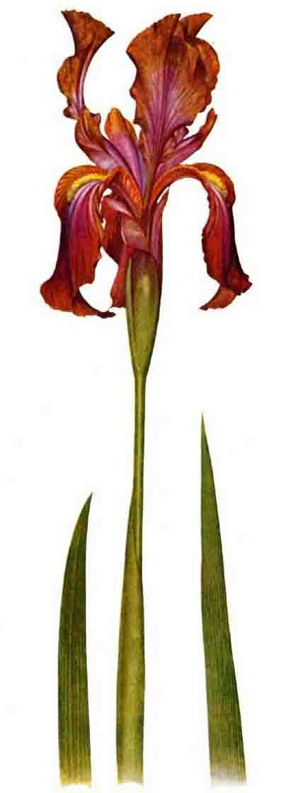 Iris stolonifera