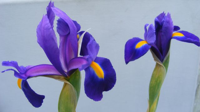 Xiphium Flower