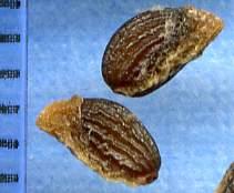Verna Seed Enlarged