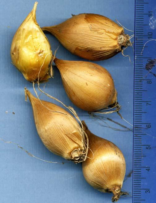 Xiphium Bulb