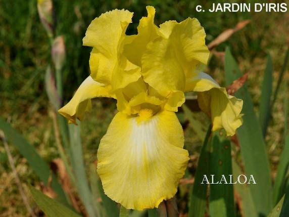 Alaloa