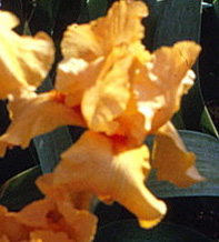 Apricot Charm