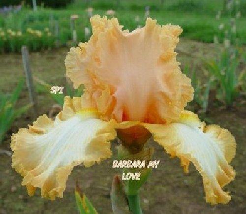 Barbara My Love
