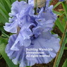 bubbling waves Iris Iriswarehouse.jpg