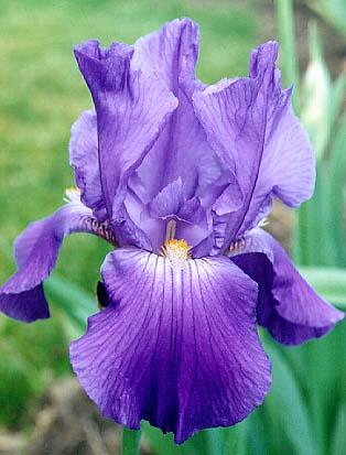 tbchivalry < tbathrue < iris wiki, Beautiful flower